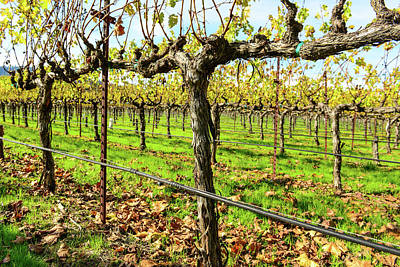 Napa Photograph - Rows Of Grapevines In Napa Valley California by Brandon Bourdages