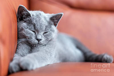 Whiskers Photograph - Young Cute Cat Resting On Leather Sofa. The British Shorthair Kitten With Blue Gray Fur by Michal Bednarek