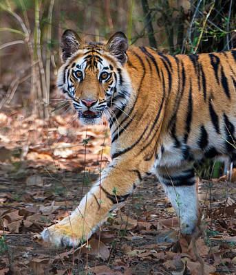 Bengal Tiger Panthera Tigris Tigris Print by Panoramic Images
