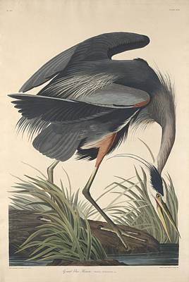 Egret Drawing - Great Blue Heron by John James Audubon