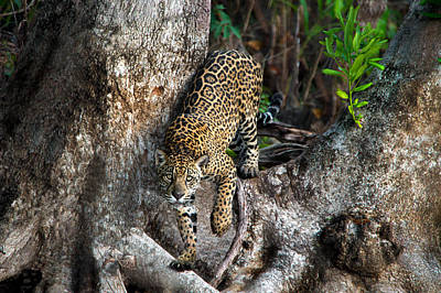 Wetlands Photograph - Jaguar Panthera Onca, Pantanal by Panoramic Images