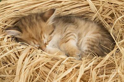 Siberian Kitten Print by Jean-Michel Labat