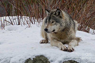 Pups Digital Art - Timber Wolf by Michael Cummings