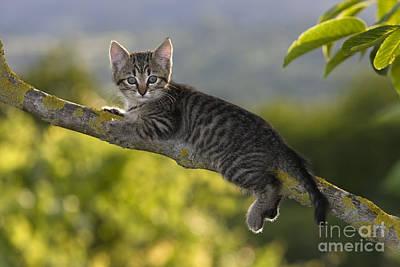 Gray Tabby Photograph - Kitten In A Tree by Jean-Louis Klein & Marie-Luce Hubert