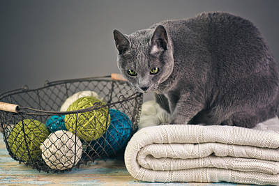 Shorthaired Photograph - Russian Blue by Nailia Schwarz