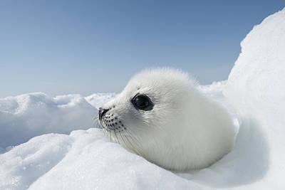 Y120817 Photograph - Whitecoat Harp Seal Pup by Daisy Gilardini