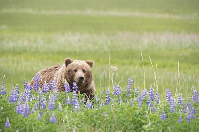 Grizzly Bear  Ursus Arctos Horribilis Print by Daisy Gilardini