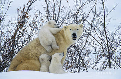 Polar Bear And Cubs Print by Jean-Louis Klein and Marie-Luce Hubert