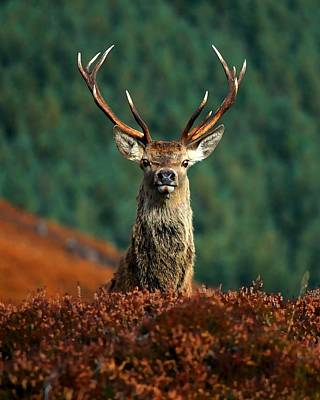 Red Deer Stag Print by Gavin Macrae