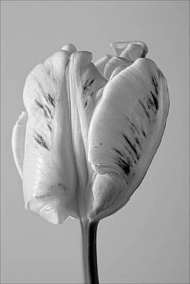 White Tulip Print by Robert Ullmann