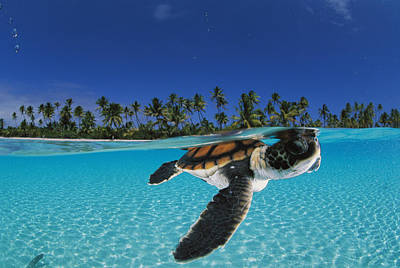 Horizontal Photograph - A Baby Green Sea Turtle Swimming by David Doubilet