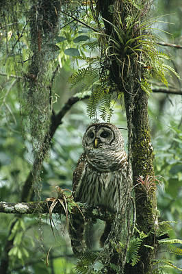 Epiphyte Photograph - A Barred Owl Perches On A Tree Branch by Klaus Nigge