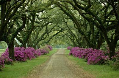 A Beautiful Driveway Lined With Trees Print by Sam Abell
