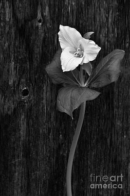 Oregon Photograph - a beautiful Trillium  by Masako Metz