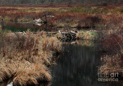 Beaver Photograph - A Beaver's Work by Skip Willits