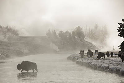 A Bison Crosses The Fire Hole River Print by Drew Rush
