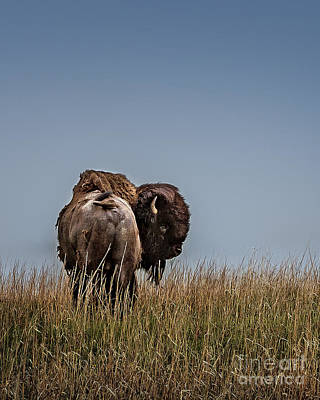 Photograph - A Bison Interrupted II by Tamyra Ayles