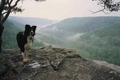A Border Collie Stands On The Bluff Print by Stephen Alvarez