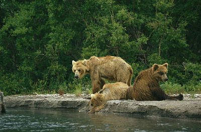 A Brown Bear Mother And Two Cubs Print by Klaus Nigge