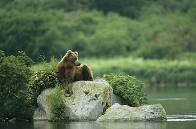 A Brown Bear Resting On A Rock Print by Klaus Nigge