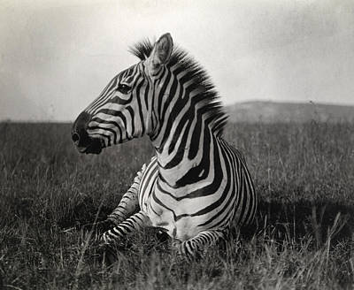 Side View Photograph - A Burchells Zebra At Rest by Carl E. Akeley