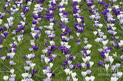 Crocus Flowers Photograph - A Carpet Of Color by Tim Gainey