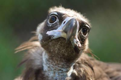 Vulture Photograph - A Cinerous Vulture Aegypius Monachus by Joel Sartore