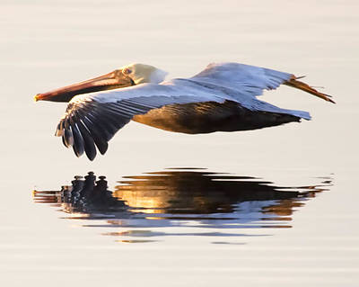 Pelican Photograph - A Closer Look by Janet Fikar