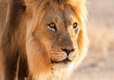 Lions Photograph - A Closeup Portrait Of A Male Kalahari Lion With A Porcupine Quill by Alisa Timurzieva