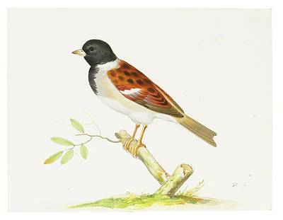 Bunting Painting - A Cock Reed Bunting Perched On A Branch by Pieter