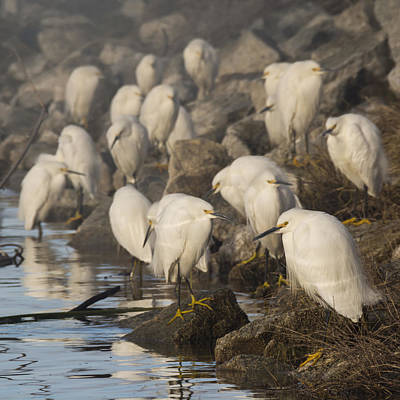 A Congregation Of Egrets Print by Bruce Frye