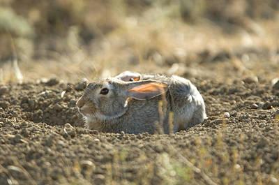 A Cottontail Rabbit At Charles M Print by Joel Sartore
