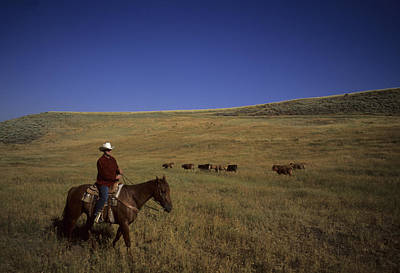A Cowboy Herds Cattle On A Ranch Print by Taylor S. Kennedy