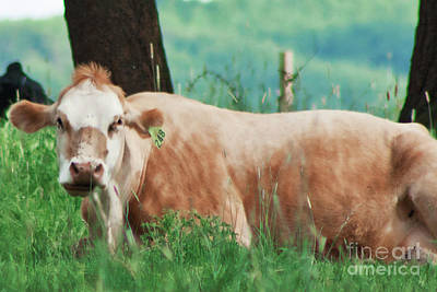 Photograph - A Cow's Tale - Lazy Day by Janie Johnson