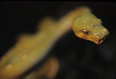 A Curious Immature Green Tree Python Print by Taylor S. Kennedy