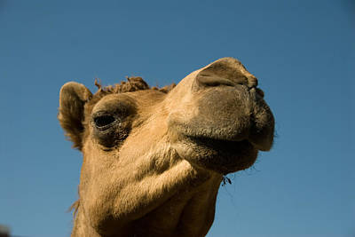 Camel Photograph - A Dromedary Camel At The Lincoln by Joel Sartore