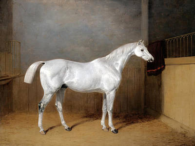 Painting - A Favourite Grey Horse Belonging To George Reed Standing In A Loose Box by William Barraud
