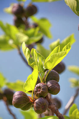 Photograph - A Fig Tree With Shining Green Leafs And Violet Soft Fruits by Regina Koch