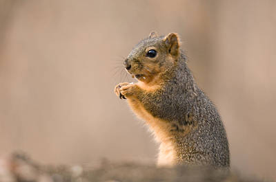 A Fox Squirrel Sciurus Niger Finds Print by Joel Sartore
