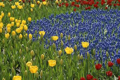 A Garden Of Colorful Tulips And Grape Print by Raul Touzon