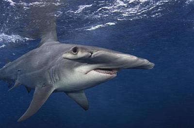 Bahama Islands Photograph - A Great Hammerhead Shark Swimming by Brian J. Skerry