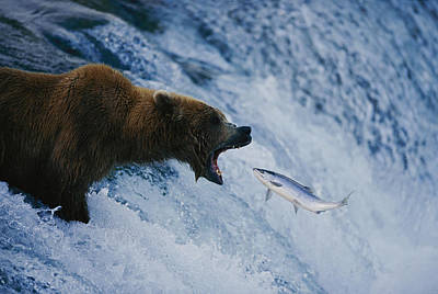 A Grizzly Bear Opens Wide For A Mouth Print by Joel Sartore