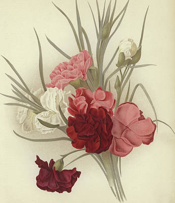 Botanical Art Drawing - A Group Of Clove Carnations by English School