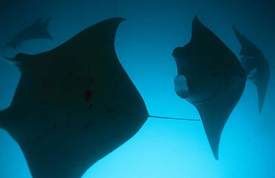 A Group Of Silhouetted Manta Rays Print by Heather Perry