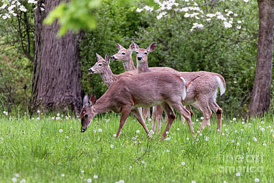 A Group Of White Tailed Deer Grazing Print by George Oze