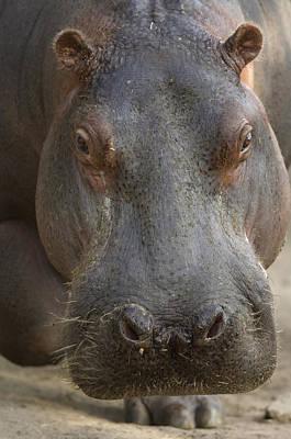 A Hippopotamus At The Sedgwick County Print by Joel Sartore