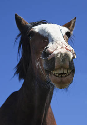 A Horse Smiling And Showing Its Teeth Print by John Short