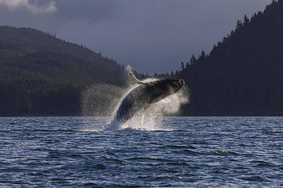 A Humpback Whale Leaps From The Waters Print by John Hyde