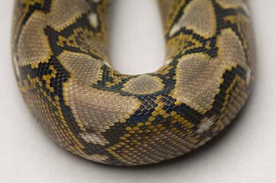 Burmese Python Photograph - A Juvenile Reticulated Python by Joel Sartore