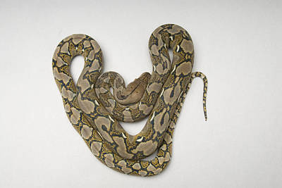 Burmese Python Photograph - A Juvenile Reticulated Python Python by Joel Sartore